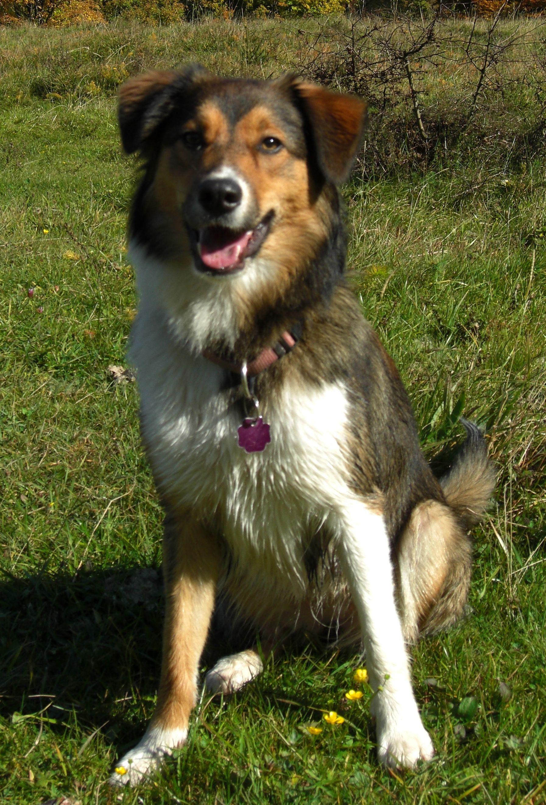 Border Aussie Unique Dog Breeds Australian Shepherd Shepherd