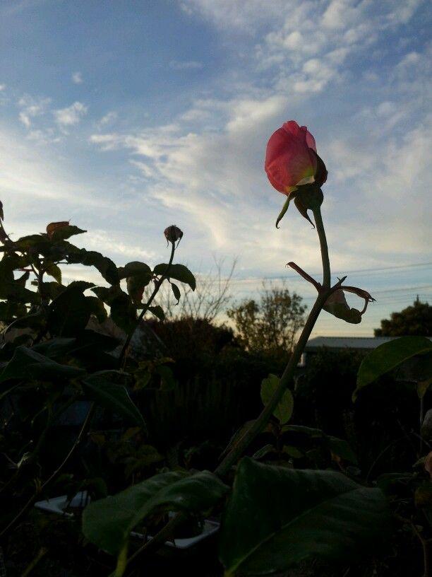 Mann st rose at dusk