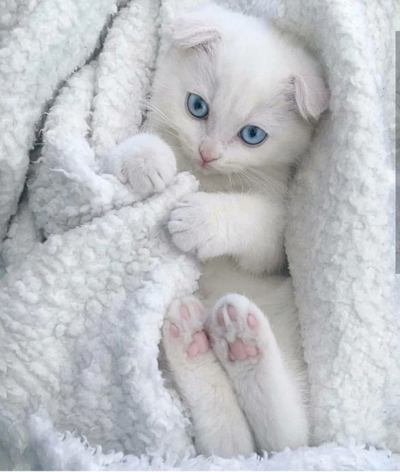 White Cat Blueeyes Animals Cute Cats Kittens Cutest Baby Animals