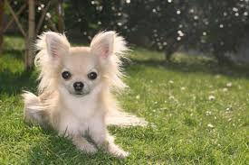 Bildergebnis Fur Chihuahua Weiss Langhaar Chihuahua Cute Chihuahua Chihuahua Funny
