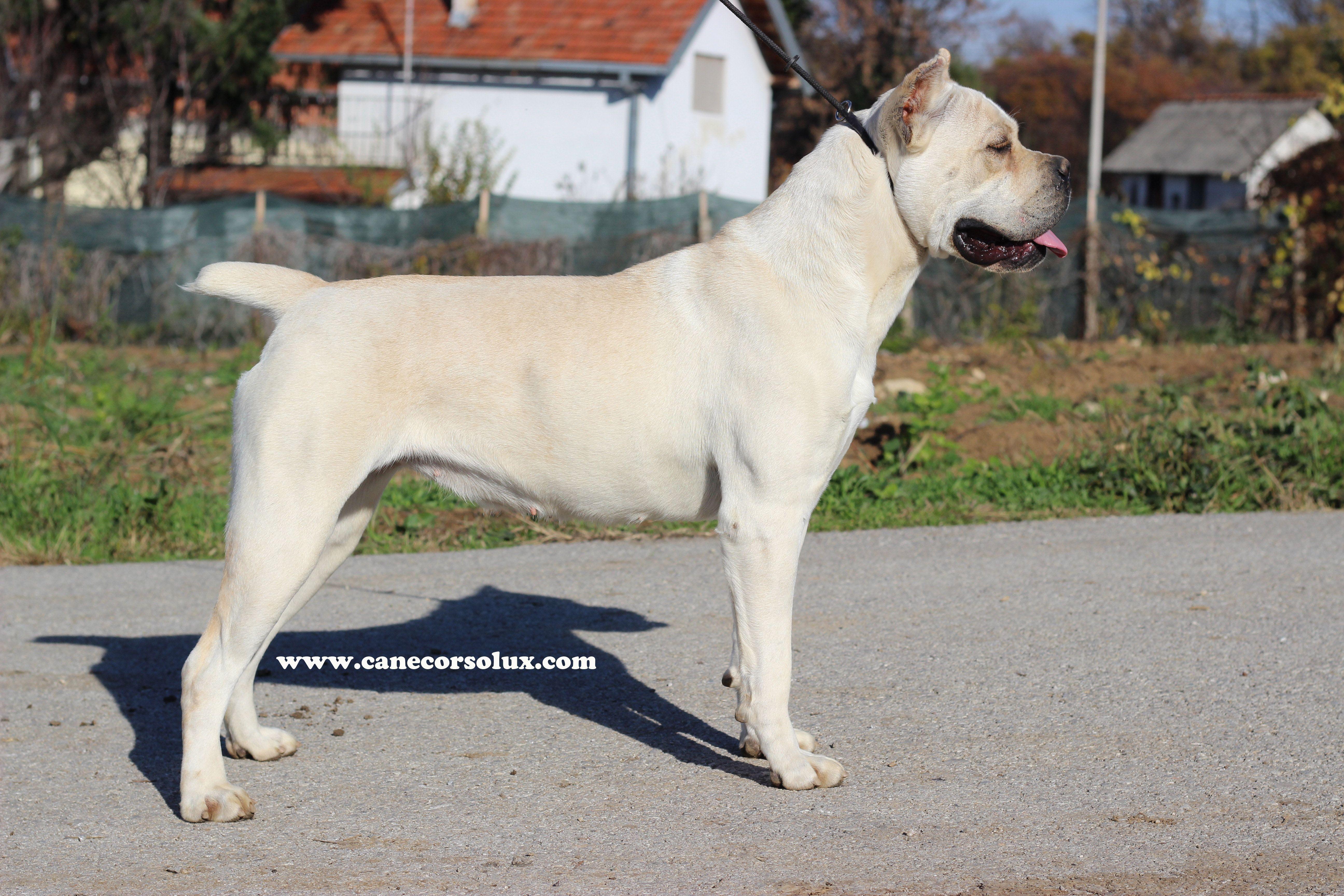 Cane Corso Europe Breeder Puppies Kennel Italian Mastiff