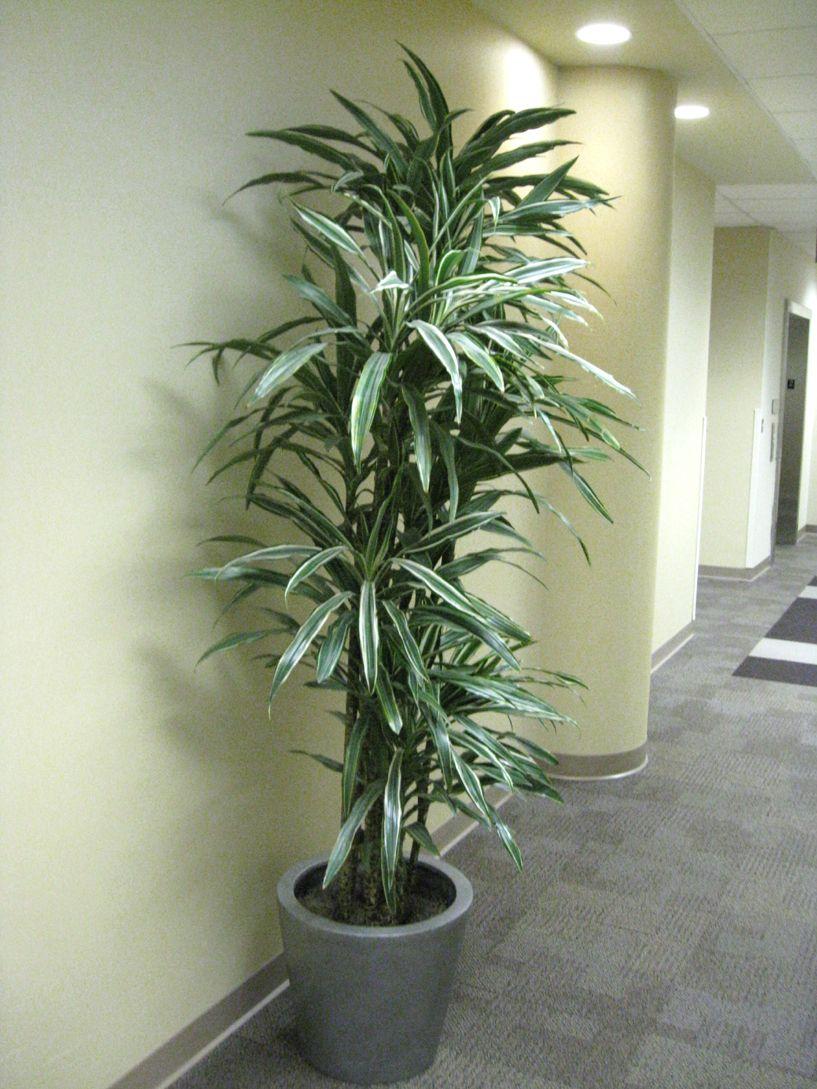Warneckii cane warneckii does best in a good light for Easy care large indoor plants