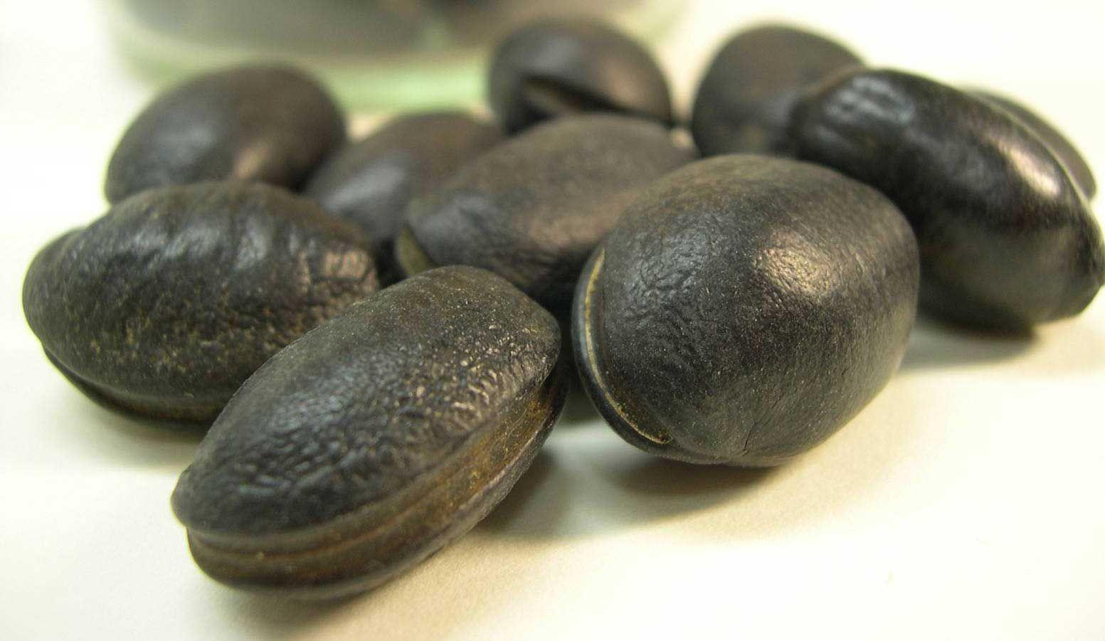 Calabar beans the cure climbing plants botanical