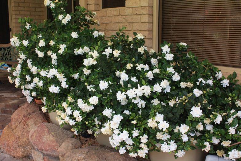 Gardenia Beautiful Evergreen Shrub Produces A Plethora Of Heavily