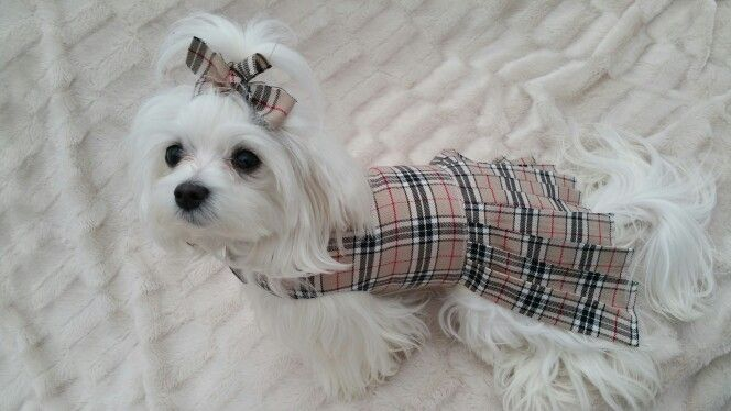 A Touch Of Burberry For Sale In Www Pixiesposhpets Co Uk Pixie