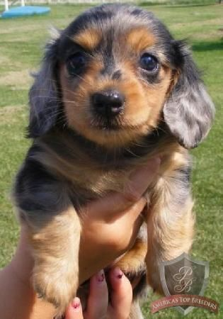 Pin By Kc Kati Callahan On Adorable Dachshund Puppies For Sale
