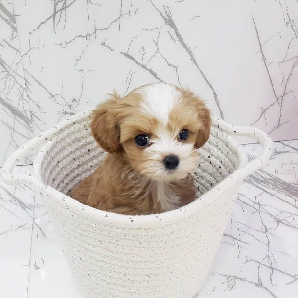 Teacup Poodle Puppies For Sale In Bc In 2020 Toy Poodle Puppies Miniature Poodle Puppy Poodle Puppies For Sale