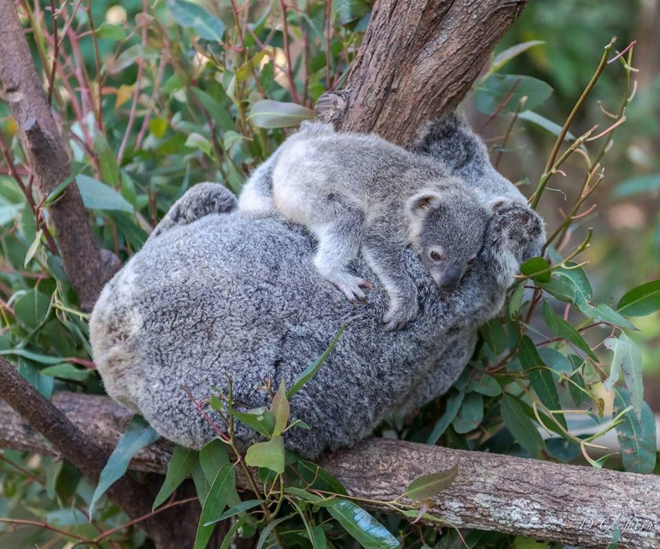 Amazing Wildlife Koala And Baby Photo Koalas Koala Pinterest