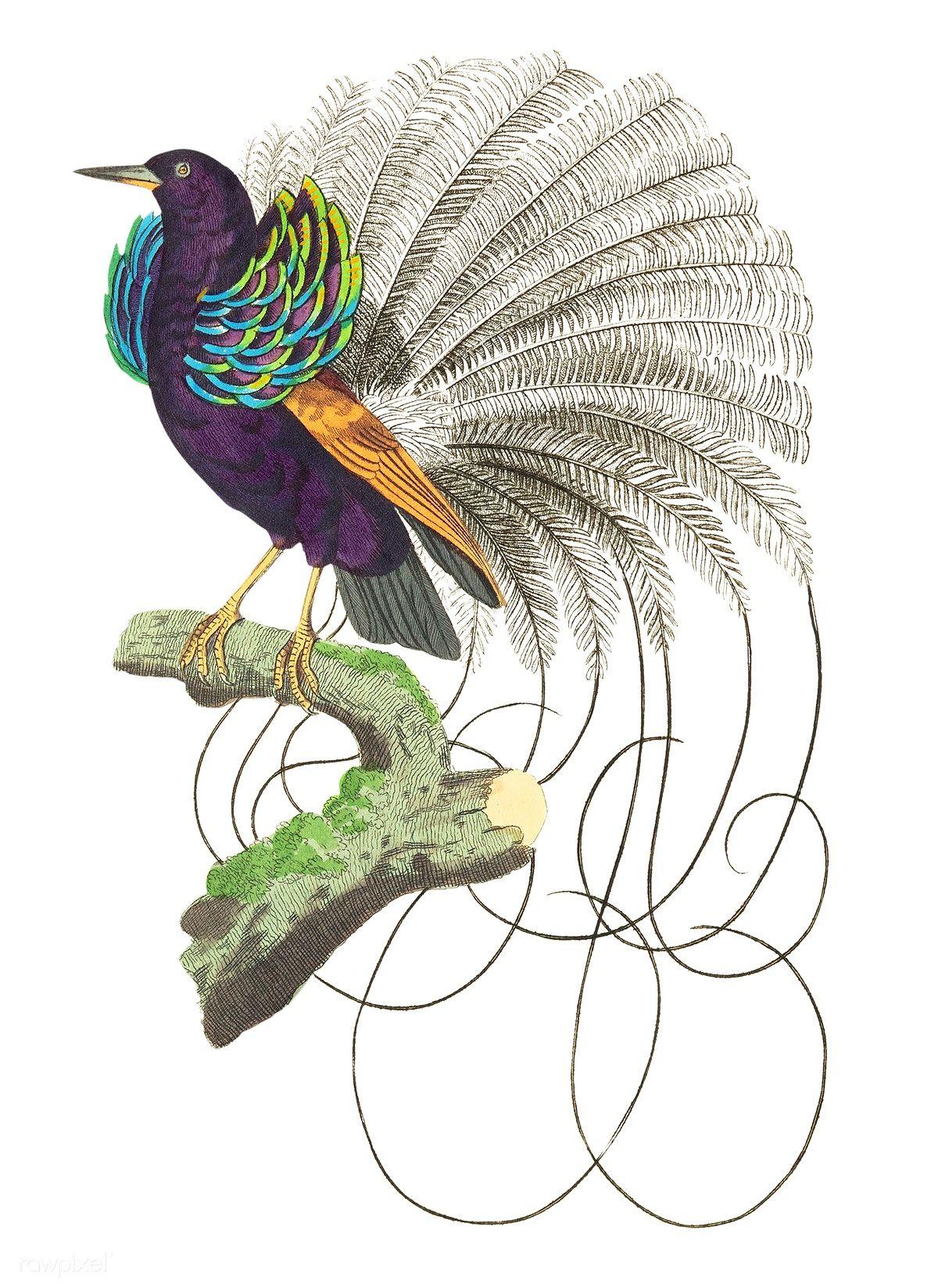 Vaillantian Paradise-bird or Violet-black Bird of Paradise ...