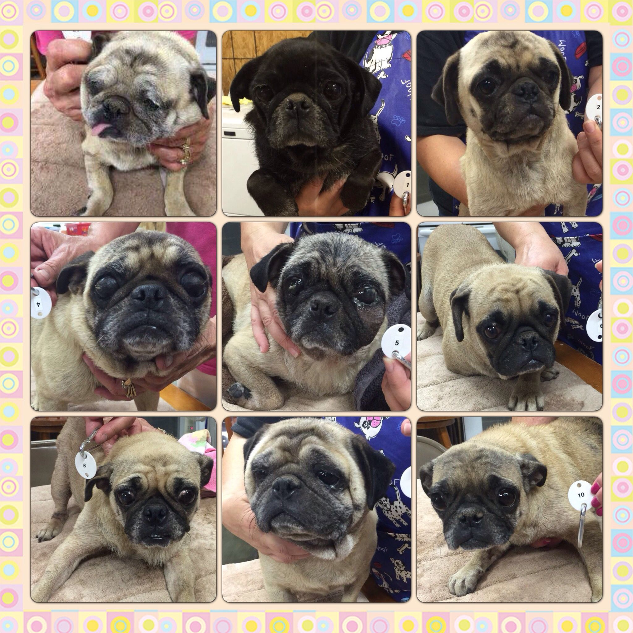 Until Last Night 32 Distressed Pugs In North Texas All Were