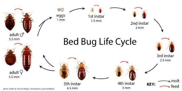 Bed Bug Biology And Behavior Bed Bugs Humming Bird