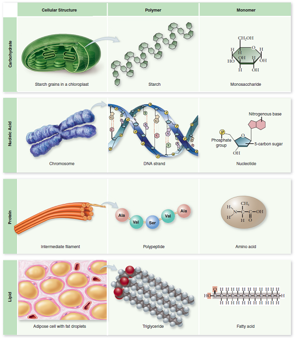 How do the four biological macromolecules differ chegg answer to how do the four biological macromolecules differ from one another fandeluxe Choice Image