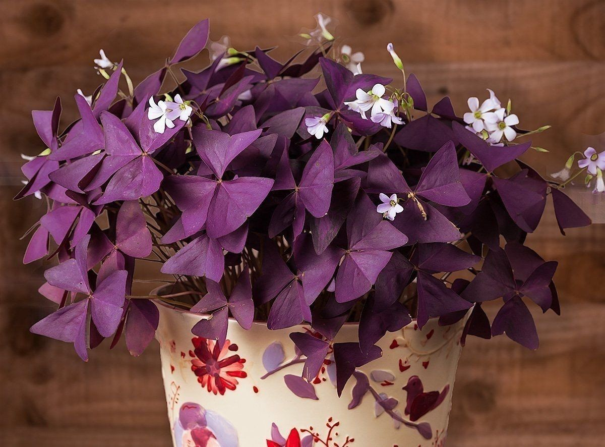 Oxalis Triangularis (10 bulbs) - Purple Shamrocks for ... on poisonous plants with purple leaves, house plants with dark red leaves, tomato plants with purple leaves, house plants and their names, purple foliage plants with leaves, wandering jew with fuzzy leaves, house plant purple heart, florida plants with red leaves, house plants with small leaves, house plant rubber plant, purple house plant fuzzy leaves, olive tree green leaves, house plants with bronze leaves, house plants with colorful leaves, house plants with shiny leaves, house plants with light green leaves, house with red flowers, house plants with long green leaves, house plants with waxy red blooms, perennial plants with purple leaves,