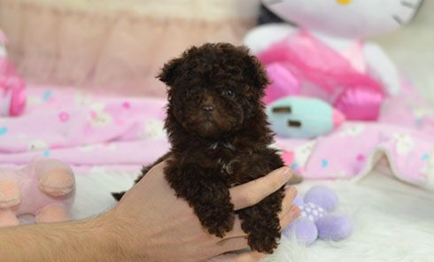 Teacup Puppies For Sale Small Dogs For Sale Teacups Co Uk Teacup Puppies Puppies For Sale Teacup Puppies For Sale