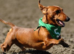 Meanwhile In Australia Dachshunds Race With A Purpose Meanwhile