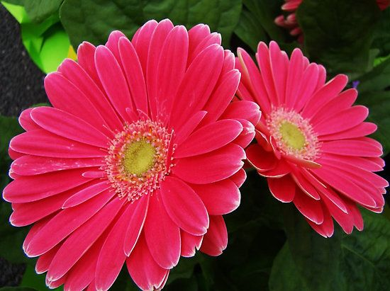 Gerbera Daisies Image By Beckey Douglas Gerbera Daisy Pink Gerbera Pink Flowers Art