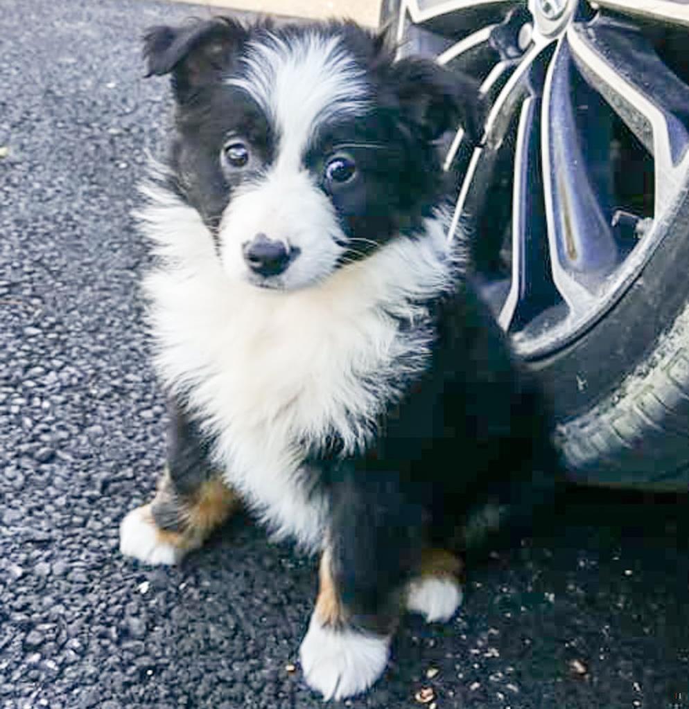 Back Home Dog Australian Shepherd Columbus, OH, USA