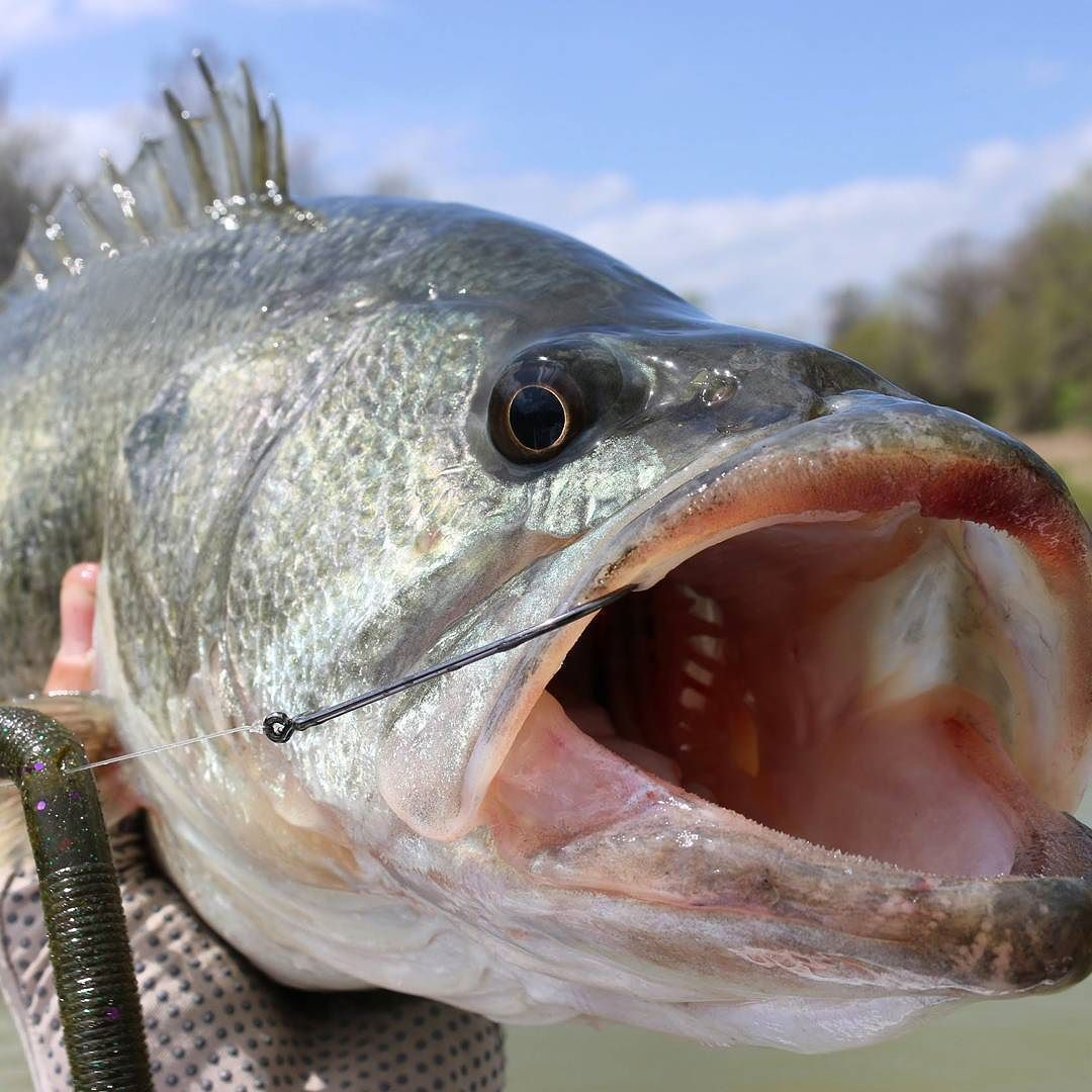 This is a nice fish isn't it? If you agree with me please