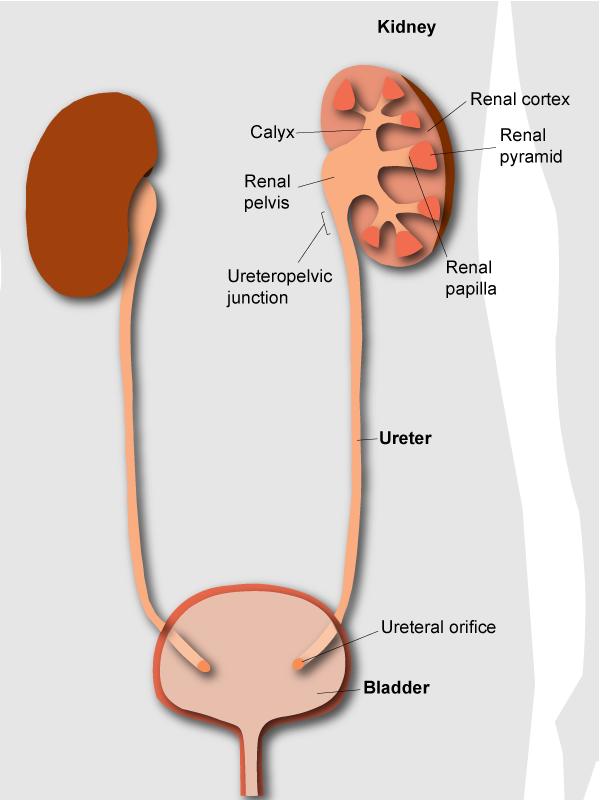 Kidney Stone Diagram Location Electrical Work Wiring Diagram