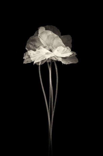 Poppy by Linda Morrow