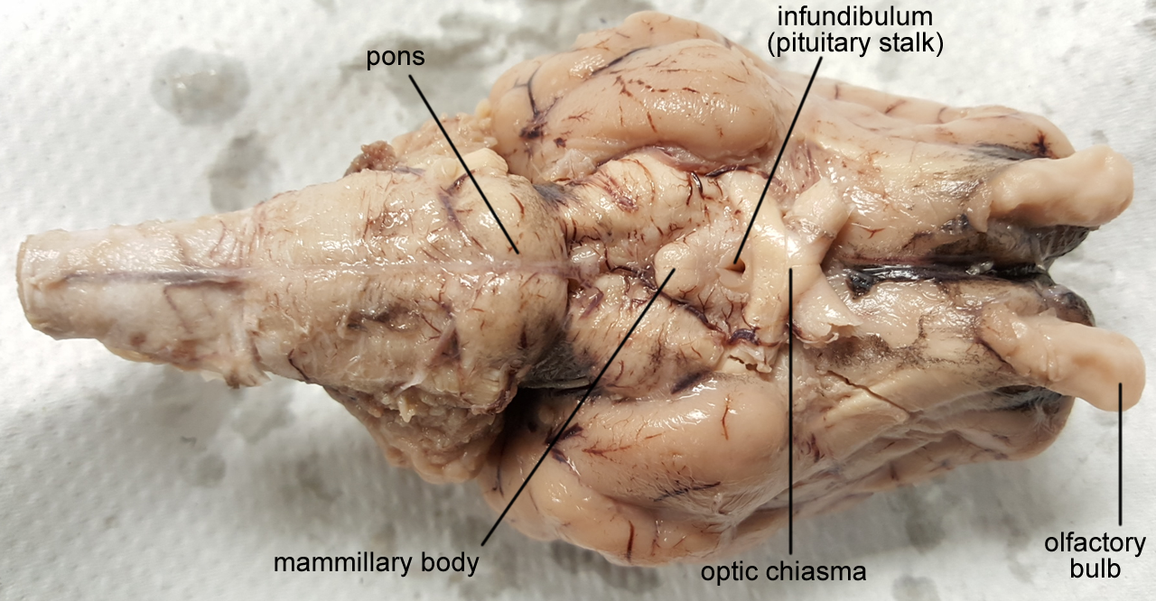 Rezultat slika za sheep heart labeled | Nervous system | Pinterest ...