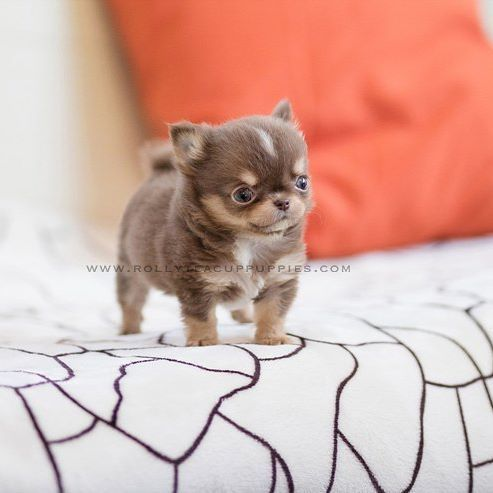Bolt Teacup Chihuahua Male Is Here Rollyteacuppuppies Gorgeous