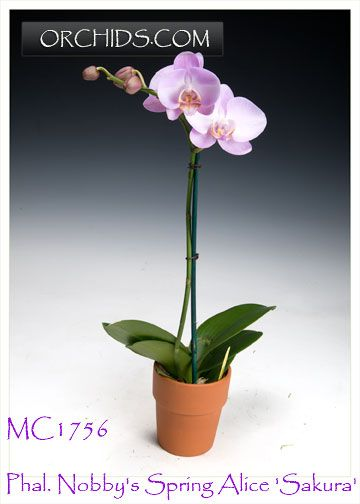 nobby design flowering succulent house plant identification. Nobby s Spring Alice  Sakura Images of Phal Orchids Pinterest