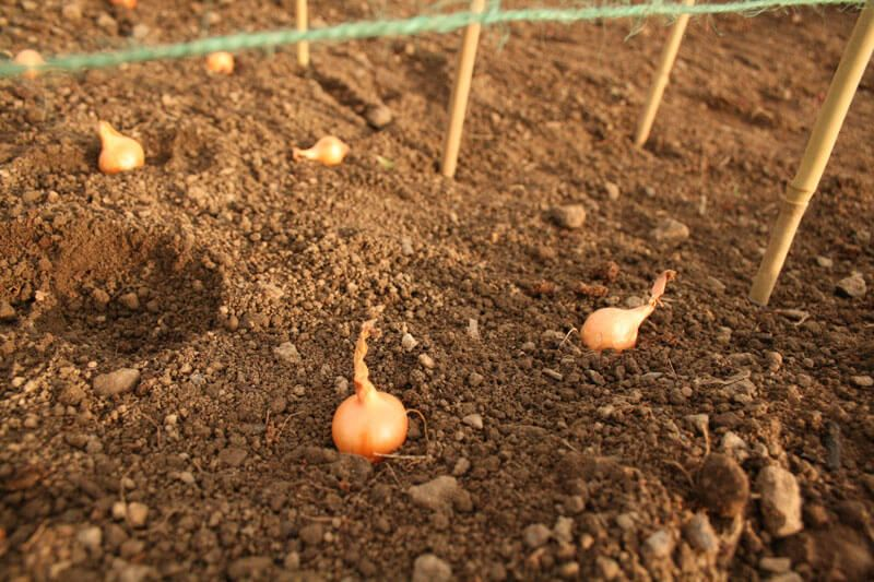 How to plant onion sets properly and effectively http