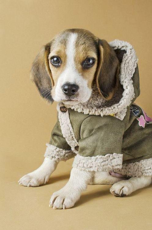 Dog Coat Cute Beagles Beagle Puppy Beagle Dog