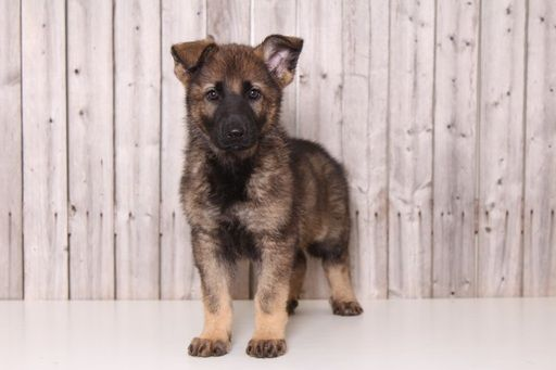 German Shepherd Dog Puppy For Sale In Mount Vernon Oh Adn 29153