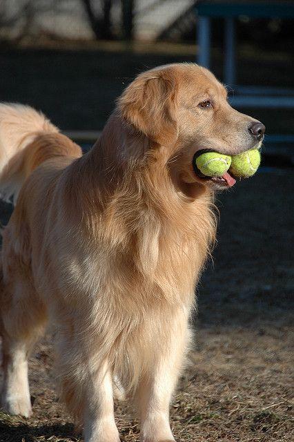 Dsc 0160 Dogs Golden Retriever Dogs Puppies Golden Puppy