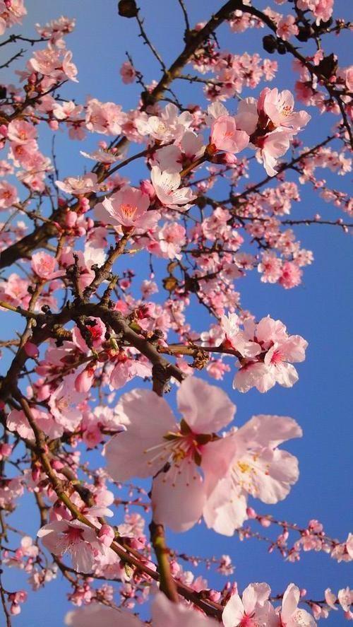 Phone Backgrounds Cherry Blossom Wallpaper Spring Wallpaper Flower Phone Wallpaper