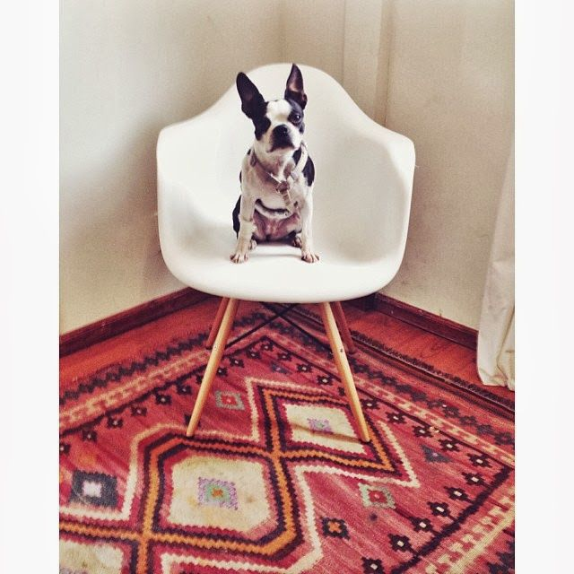 Boston Terriers And Kilim Rugs, These Are A Few Of My