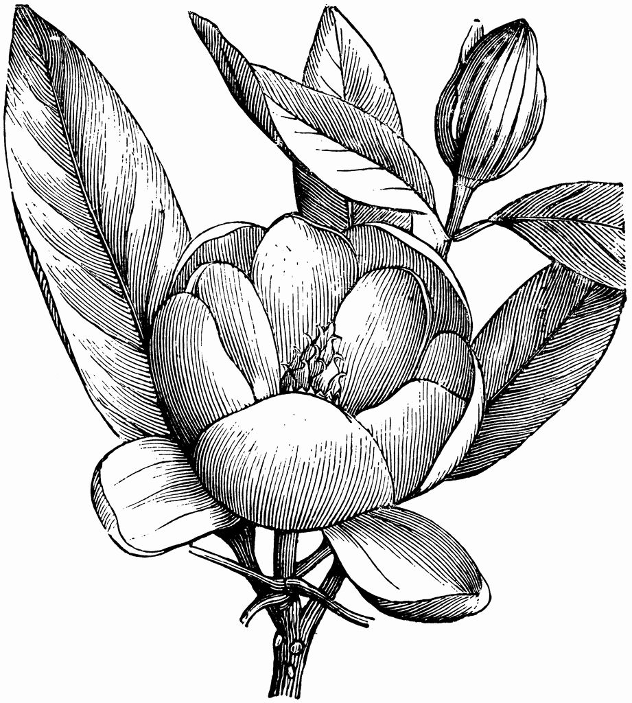 Magnolia Flower Coloring Page Awesome Flower Bouquet Clipart Black And White In 2020 Magnolia Flower Flower Coloring Pages Flower Drawing