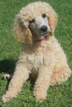 This Is Surprise A Male Apricot Akc Standard Poodle Puppy That I