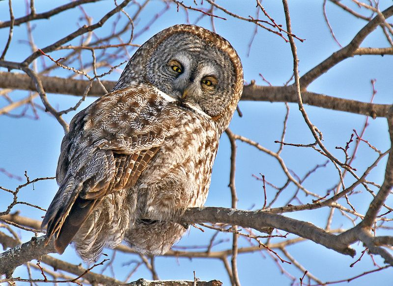 Great Grey Owl, Ottawa