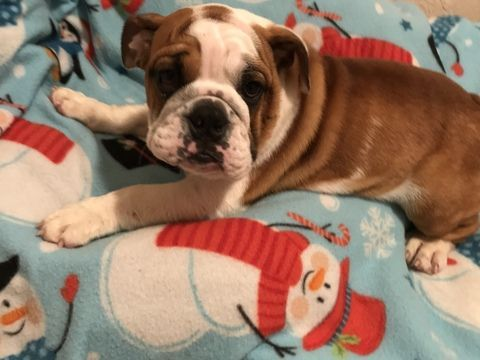 English Bulldogge Puppy For Sale In Tampa Fl Adn 57092 On