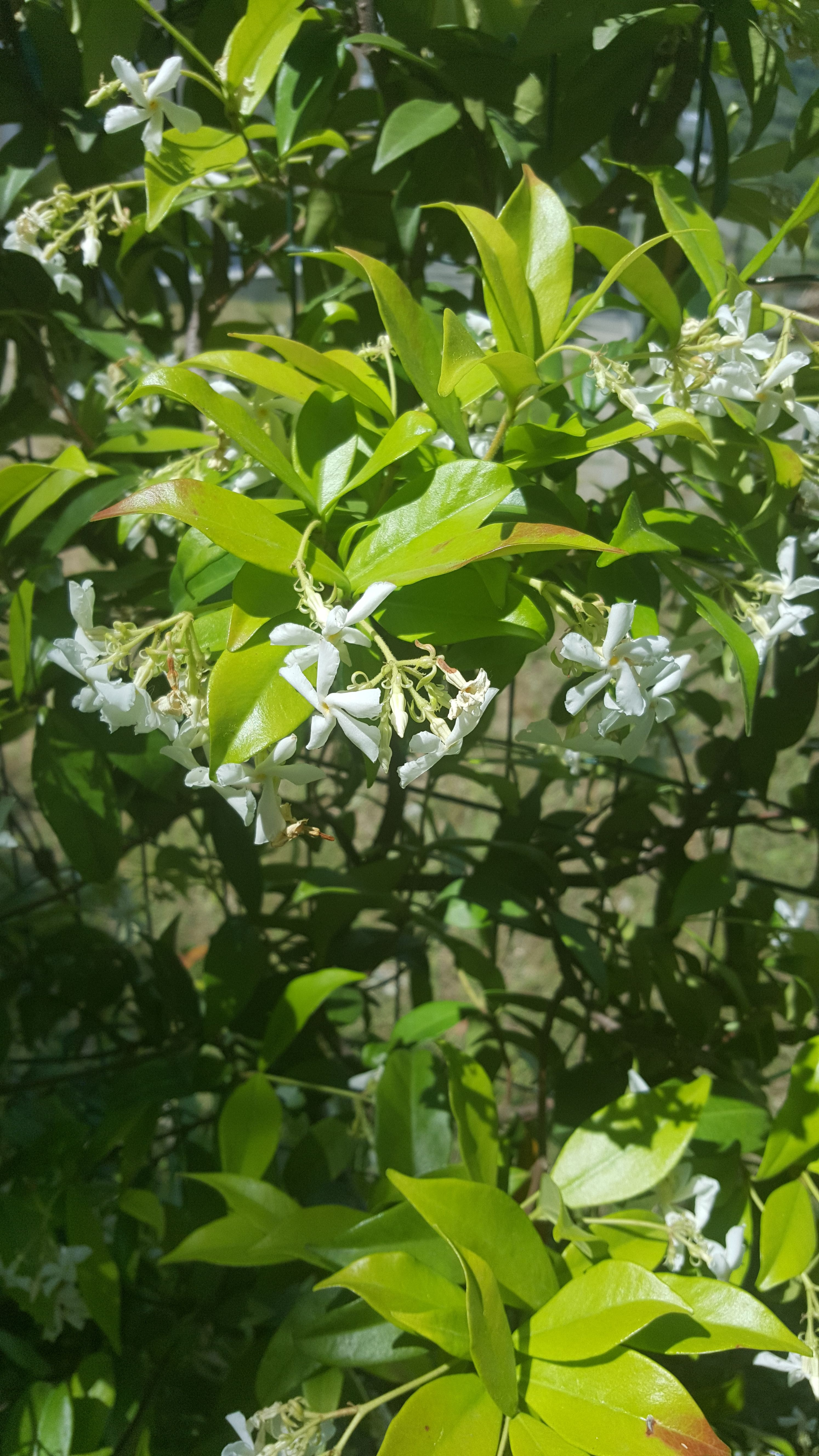 Falso Gelsomino (Rincospermum Jasminoides)