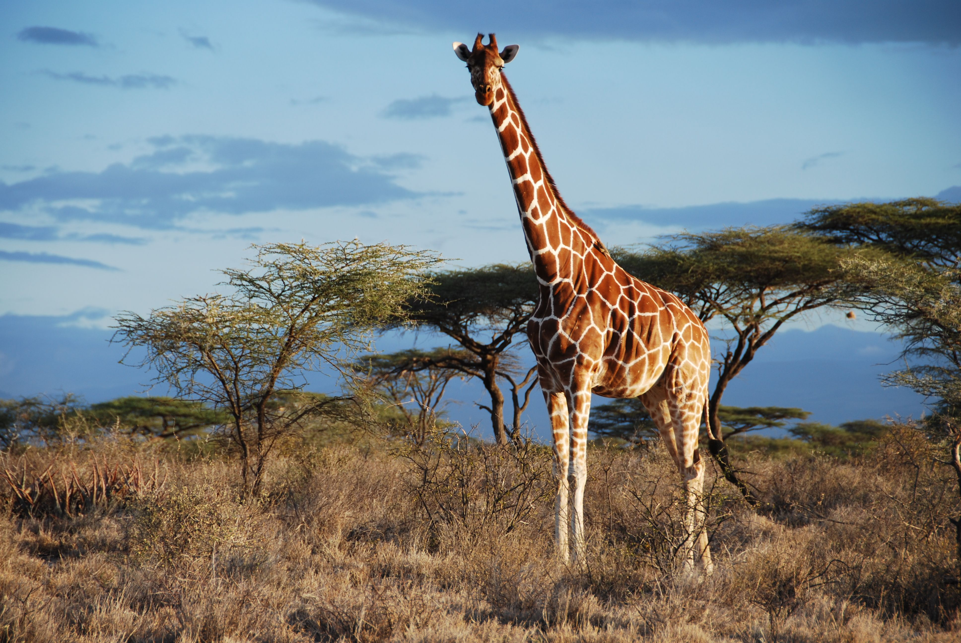 Giraffe Wallpapers Images Photos Pictures Backgrounds