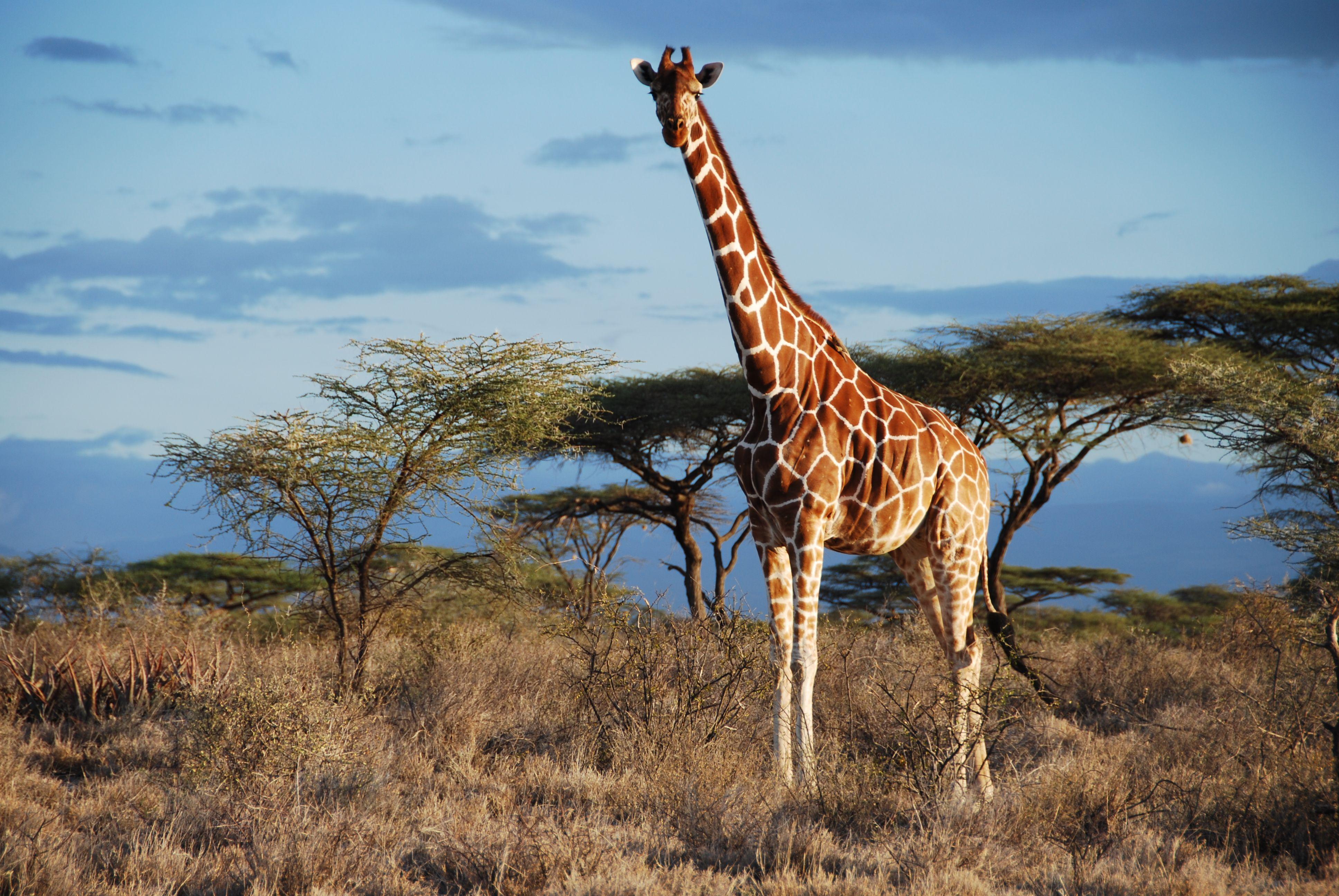 Giraffe 797233 Full HD Widescreen wallpapers for