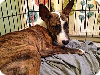 Wichita Falls, TX Bull Terrier Mix. Meet Bull, a dog for