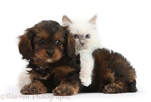 Black And Tan Cavapoo Pup And Blue Point Kitten