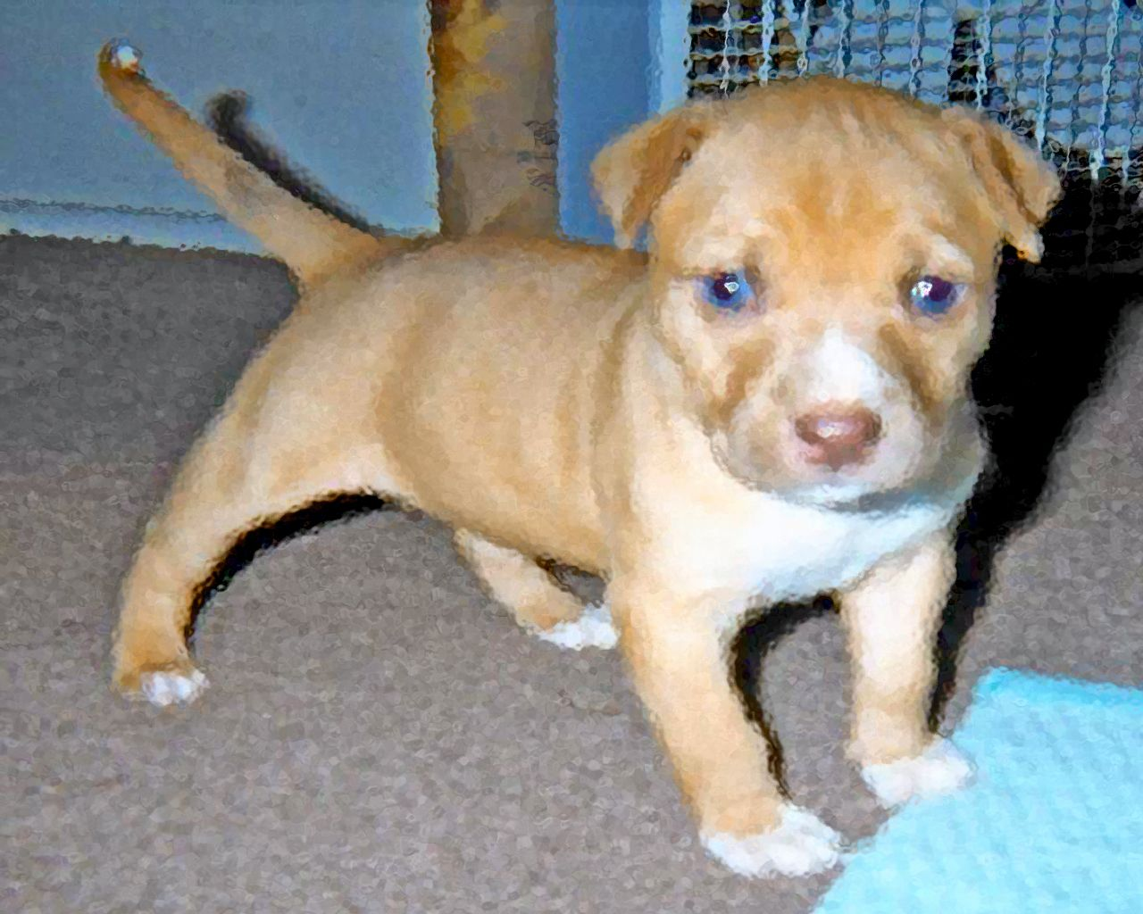 Red Nose Pitbull Cute Red Nose Pitbull Puppies Red Nose Pitbull