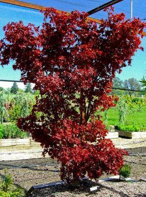 Beni Hoshi Ruby Stars Acer Palmatum 5 6x4 Zone 5 9 Spring