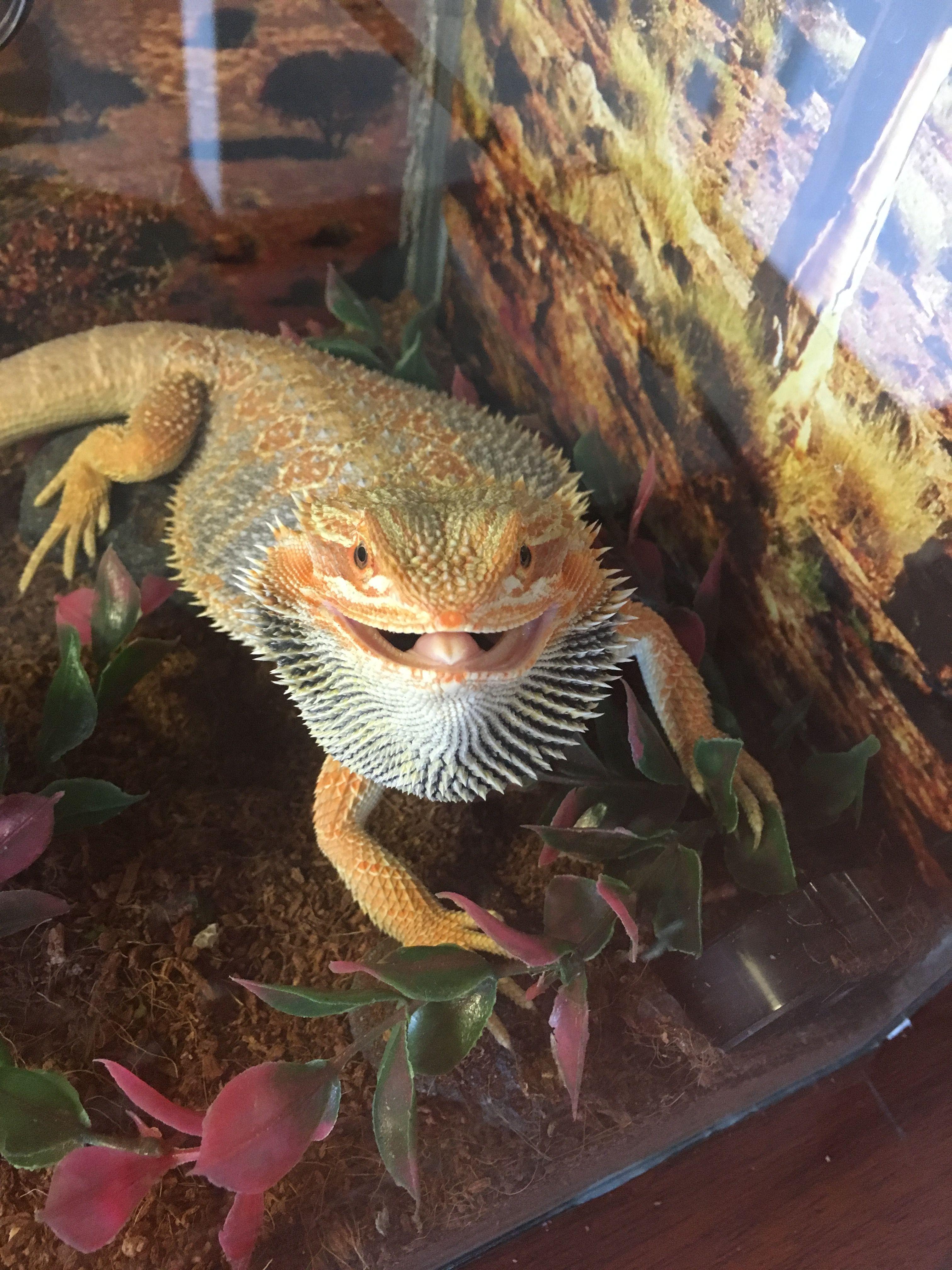Dragon barbudo sultan durmiendo   Dragón barbudo   Pinterest ...