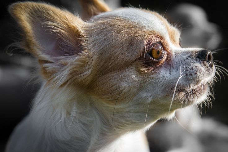 Pin By Susan Carlisle On Dogs In 2020 Dog Muzzle Chihuahua