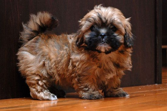 Shorkie Haircut Shorkie Puppies Cute Cats And Dogs Puppy Haircut