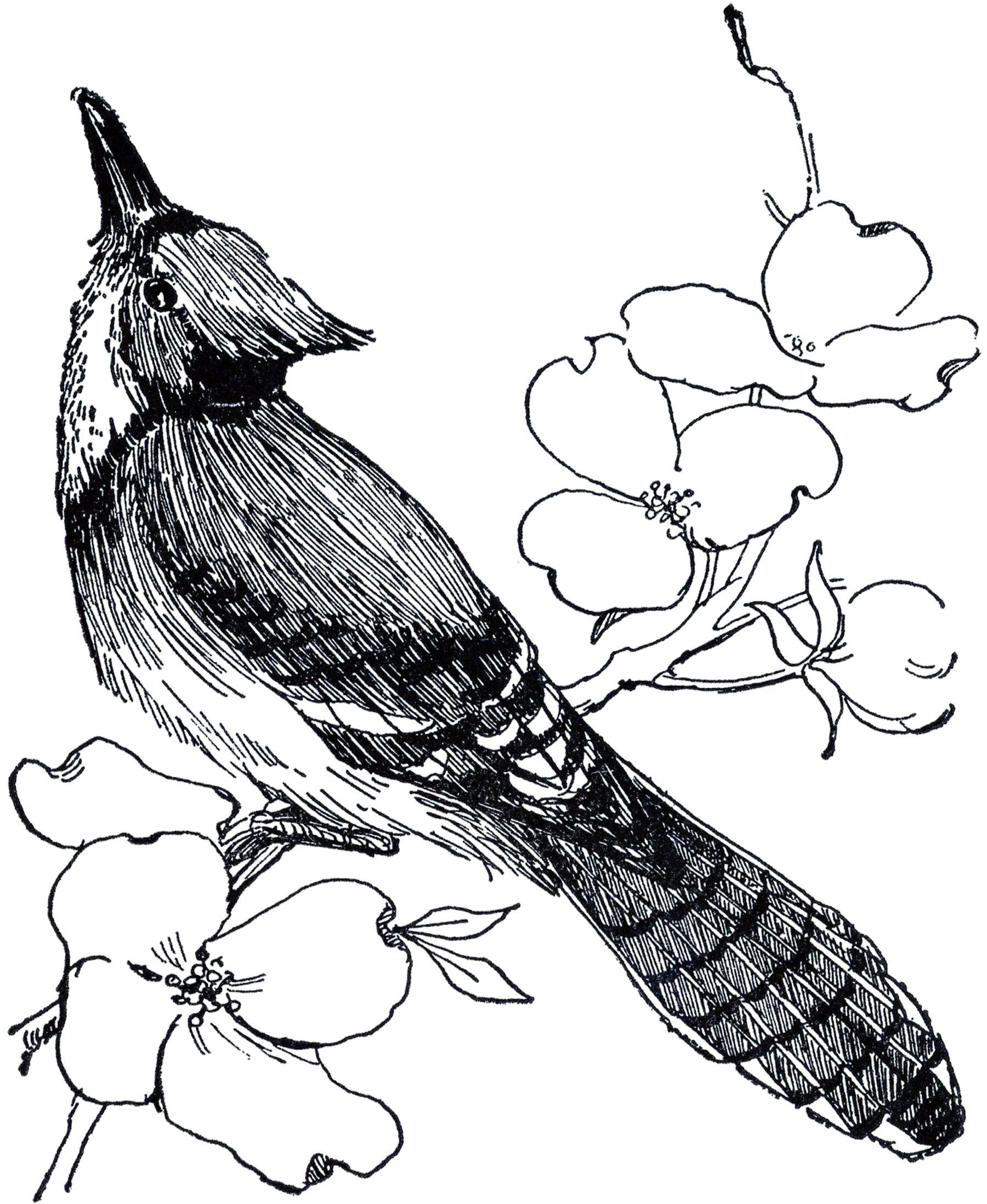 Blue Jay Sketch Bird Graphic Bird Drawings Blue Jay