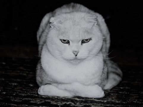 cyai [Mori Wajin's ie-neko cat]