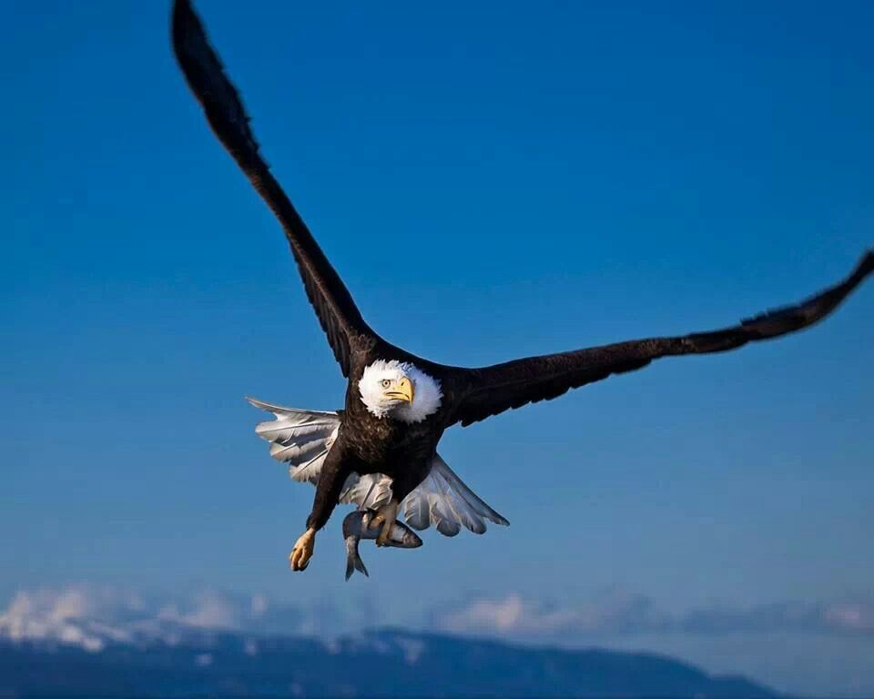 Pin By Jackie Thompson On E A G L E S Eagles Eagle Wallpaper Eagle Images Bald Eagle